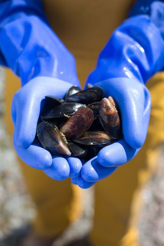 Fisherman holding a handful of harvested mussels